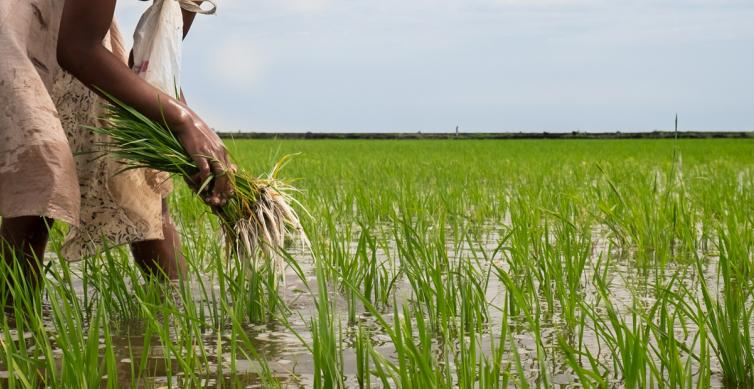 AGRA e Gapi relançam cadeia de valor do arroz